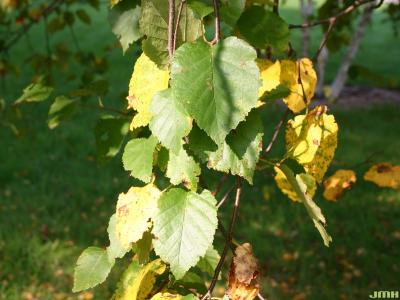 Betula papyrifera (paper birch), leaves