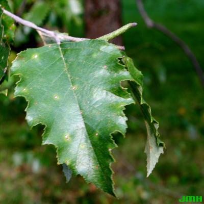 Betula nigra L. (river birch), leaf