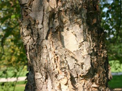Betula nigra L. (river birch), bark