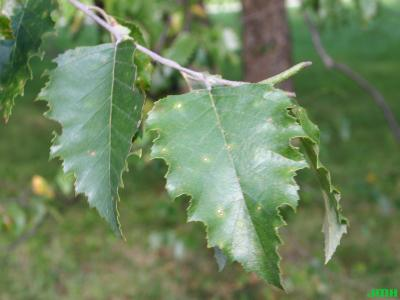 Betula nigra L. (river birch), leaves