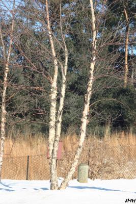 Betula nigra L. (river birch), trunks