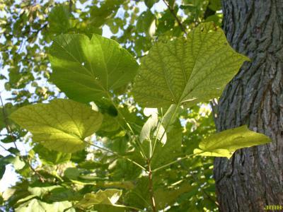 Catalpa ovata G. Don (Chinese catalpa), leaves