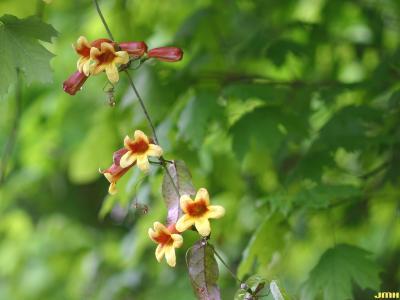 Bignonia capreolata L. (cross vine), growth habit, vine form