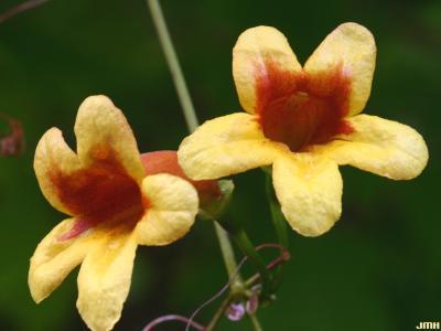 Bignonia capreolata L. (cross vine), flowers