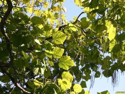 Catalpa ovata G. Don (Chinese catalpa), branches