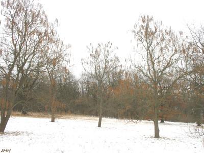 Catalpa ovata G. Don (Chinese catalpa), growth habit, tree form in winter