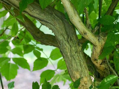 Campsis radicans (L.) Seem. (trumpet vine), bark