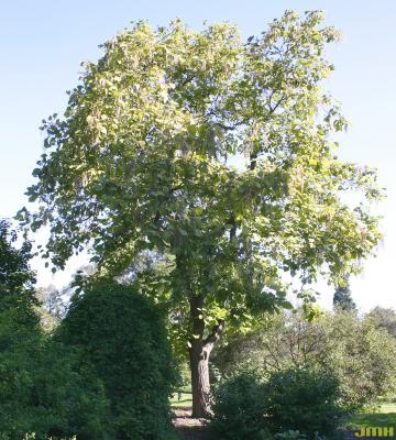 Catalpa ovata G. Don (Chinese catalpa), growth habit, tree form