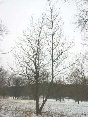 Catalpa bignonioides Walt. (southern catalpa), growth habit, tree form in winter