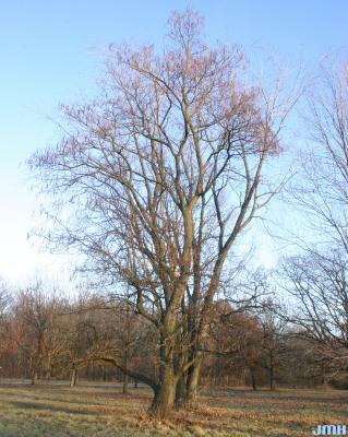 Catalpa speciosa Warder (northern catalpa), tree form in winter