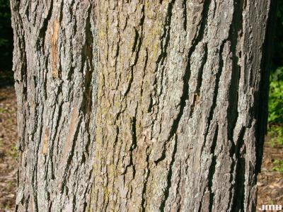 Catalpa ovata G. Don (Chinese catalpa), bark