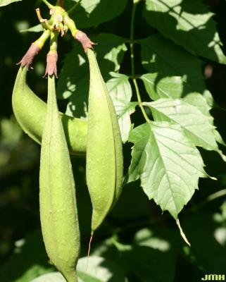 Campsis radicans (L.) Seem. (trumpet vine), fruit