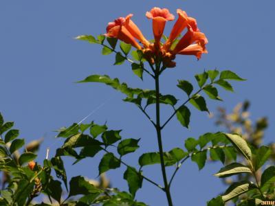 Campsis radicans (L.) Seem. (trumpet vine), flowers and leaves