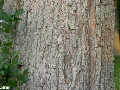 Catalpa speciosa Warder (northern catalpa), bark