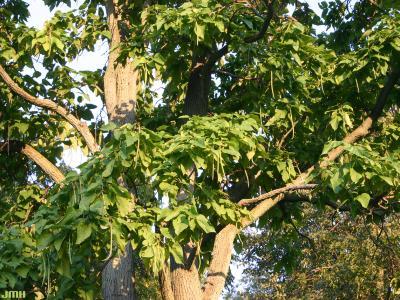 Catalpa speciosa Warder (northern catalpa), branches