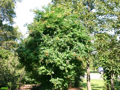 Campsis radicans (L.) Seem. (trumpet vine), growth habit, vine form