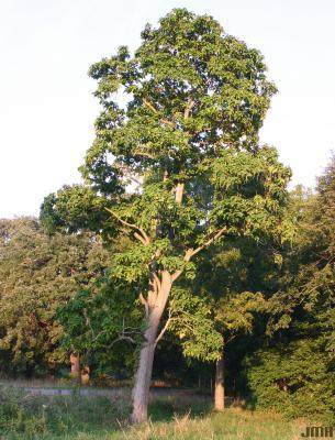 Catalpa speciosa Warder (northern catalpa),  growth habit, tree form
