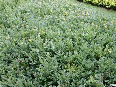 Buxus 'Glencoe' (boxwood – CHICAGOLAND GREEN®), foliage
