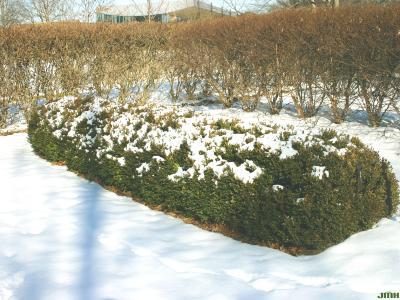 Buxus 'Glencoe' (boxwood – CHICAGOLAND GREEN®), growth habit, snow covered hedge