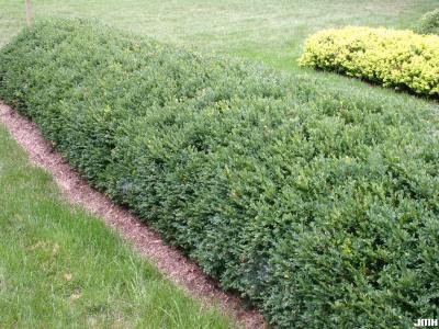 Buxus 'Glencoe' (boxwood – CHICAGOLAND GREEN®), growth habit, hedge form