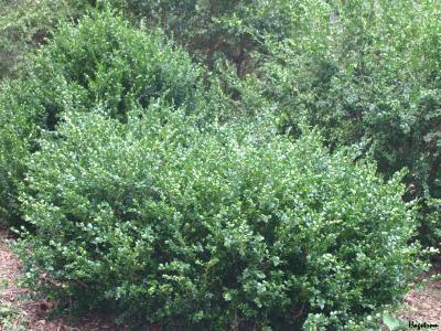 Buxus 'Green Ice' (Green Ice boxwood), growth habit, shrub form
