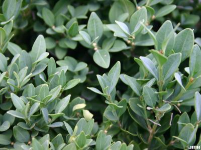 Buxus 'Glencoe' (boxwood – CHICAGOLAND GREEN®), leaves