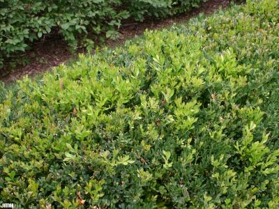 Buxus 'Green Gem' (Green Gem boxwood), foliage