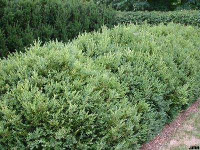 Buxus 'Green Mountain' (Green Mountain boxwood), growth habit, hedge form