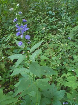Campanula americana L. (Tall bellflower), woodland wildflowers on tall leafy stems