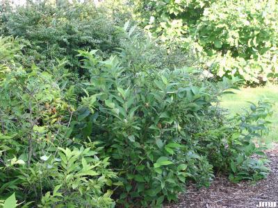 Calycanthus floridus L. (Carolina-allspice), overview, growth habit