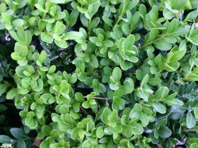 Buxus 'Wilson' (boxwood – NORTHERN CHARM™), leaves
