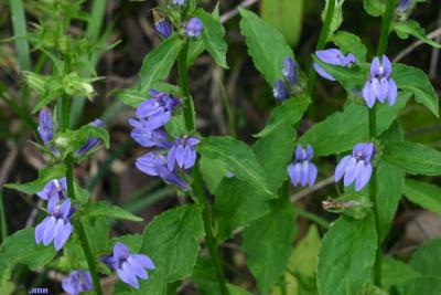 Lobelia siphilitica L. (great blue lobelia), flowers, leaves