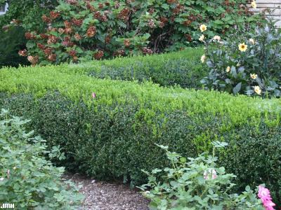 Buxus 'Wilson' (boxwood – NORTHERN CHARM™), growth habit, hedge form