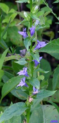 Lobelia siphilitica L. (great blue lobelia), flowers along upright stem, leaves
