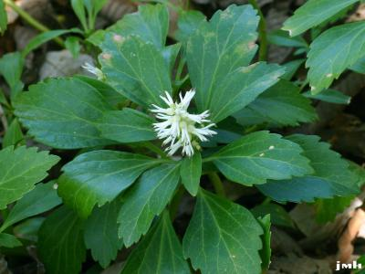 Pachysandra terminalis Sieb. & Zucc. (Japanese pachysandra), close-up of flowers and leaves