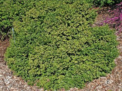 Buxus 'Green Velvet' (Green Velvet boxwood), growth habit, shrub form