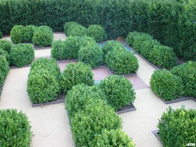 Buxus 'Green Mound' (Green Mound boxwood), growth habit, children's maze