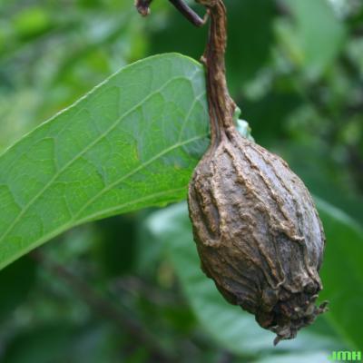 Calycanthus floridus L. (Carolina-allspice), fruit, receptacle