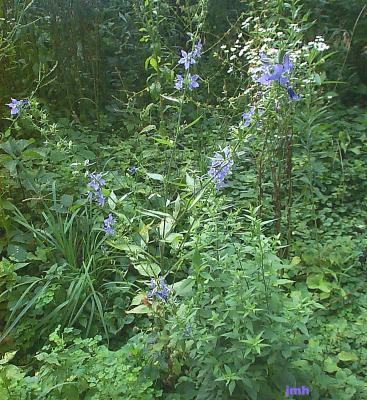 Campanula americana L. (Tall bellflower), woodland wildflower