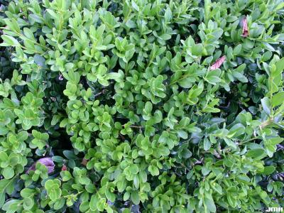 Buxus 'Wilson' (boxwood – NORTHERN CHARM™), foliage