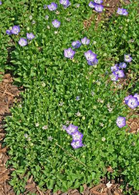 Campanula 'Samantha' (Samantha bellflower), growth habit, flowers, ground cover