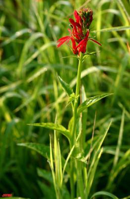 Lobelia cardinalis L. (cardinal flower), flowers