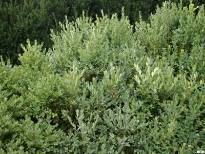 Buxus 'Green Mountain' (Green Mountain boxwood), growth habit, shrub form