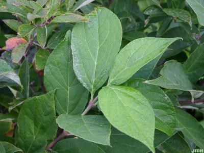 Calycanthus floridus L. (Carolina-allspice), leaves