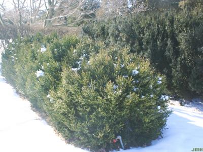 Buxus 'Green Mountain' (Green Mountain boxwood), growth habit, hedge form in winter