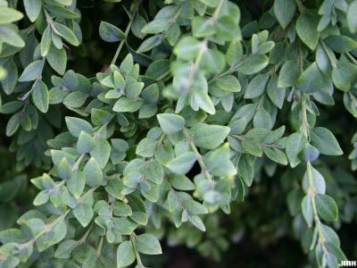 Buxus 'Green Mountain' (Green Mountain boxwood), leaves