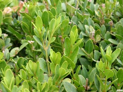 Buxus 'Wilson' (boxwood – NORTHERN CHARM™), close-up of leaves