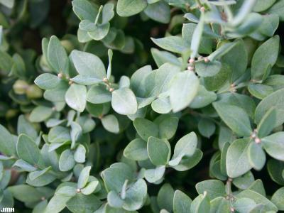 Buxus 'Green Velvet' (Green Velvet boxwood), close-up of leaves
