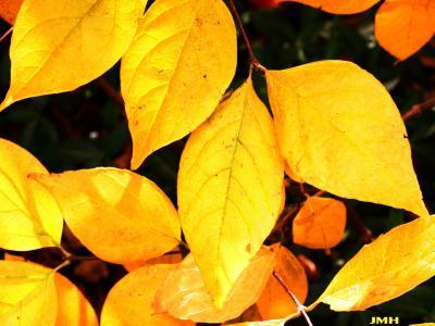 Calycanthus floridus L. (Carolina-allspice), leaves, fall color