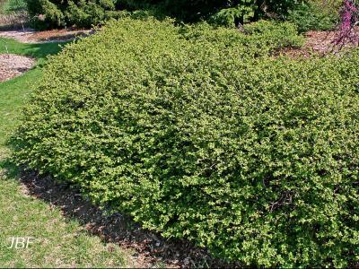 Buxus 'Green Velvet' (Green Velvet boxwood), growth habit, hedge form